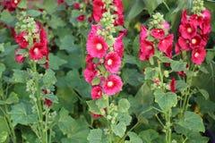 Stockrose-Malve, Alcea rosea, Malvaceae, Althaea-rosea Lizenzfreie Stockbilder