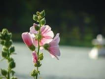 Stockroseblume Stockbild