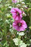 Stockrosen, die im beständigen Garten blühen Lizenzfreie Stockfotos