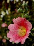 Stockrosrosa färgblomma och knoppar Royaltyfria Foton