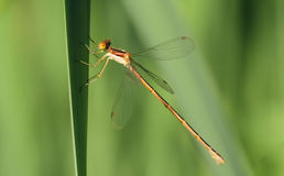 Stocky Lestes Royalty Free Stock Photos