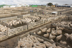 Stockyard. Full of sheep pens in Feilding, New Zealand Royalty Free Stock Photo