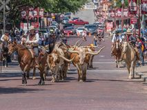 Cattle Drive Ft Worth stock image