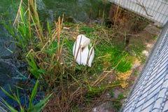 Stod zwaanwijfje in haar hoopnest, in een stedelijk stadspark, dicht bij een voetsteeg en beschermd met een draadomheining royalty-vrije stock afbeeldingen