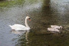 Stodde die zwaan door twee jonge zwanen is voorafgegaan Royalty-vrije Stock Foto's