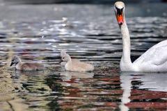 Stodde olor van zwaancygnus zwemt met zijn eendjes in het meer stock afbeelding