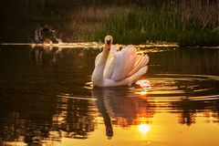 Stodde Zwaan bij zonsondergang in een meer stock afbeelding