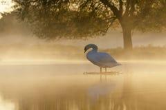 Stodde Zwaan bij zonsopgang stock fotografie