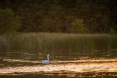 Stodde zwaan die in alleen meer zwemmen stock foto's