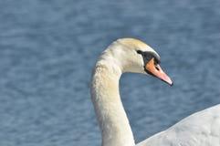 Stodde zwaan Grote stroomversnellingvogel floating Royalty-vrije Stock Fotografie
