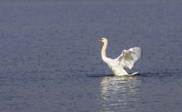 Stodde Zwaan Klappende Vleugels Royalty-vrije Stock Foto's