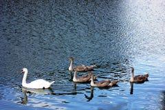Stodde Zwaan met jonge zwanen die op de Rivier van Theems, Londen zwemmen Royalty-vrije Stock Foto's