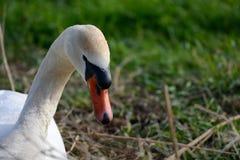 Stodde zwaan op nest Stock Foto