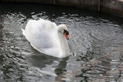 Stodde Zwaan op Water Royalty-vrije Stock Afbeeldingen