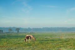 Stoen med fölet som betar på, betar i dimmig morgon Arkivbilder