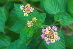 Stoff der Gold- oder Lantana camarablume im Garten Stockbild