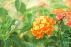 Stoff des Goldes, Hecke blüht bunte Gänseblümchenblumen im natur stockfotos
