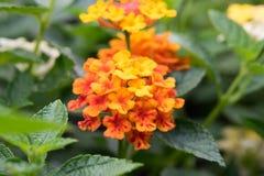 Stoff des Goldes, Heckenblume, weißer Salbei Stockbild