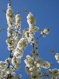 Stoff, weiße Kirschblumen lizenzfreie stockfotos
