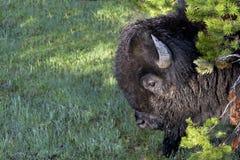 Stoffige bizon in pijnbomen Royalty-vrije Stock Afbeeldingen