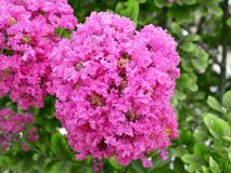 Stoffterry-Rosablütenstand der Kreppmyrte stockfoto