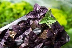 Stoi out, jest, różnym, zielonym basilu rośliną wśród fiołkowego planu, Zdjęcia Royalty Free