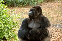 Stoic Gorilla. This male gorilla sits stoically in his natural habitat Stock Photo