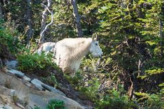 Mountain goat looking away. A stoic mountain goat standing up on a cliff looking away Royalty Free Stock Photography