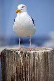 Stoic Seagull. This stoic seagull poses on a post near the California coastline Royalty Free Stock Photos