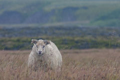 Stoic sheep braving the cold icelandic rain. A free roaming sheep braves the cold icelandic rain in the midst of the rugged and beautiful highlands near Porsmork Royalty Free Stock Photo