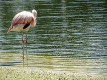 Stojący w jeziorze flaminga ptak Obrazy Stock