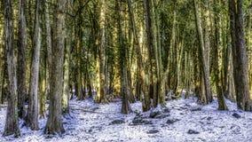 Stojak ciemni drzewa w zimie zdjęcia stock