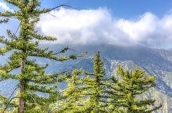Stojak Cukrowe sosny w San Gabriel górach Fotografia Stock