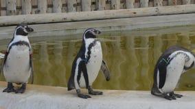 Stojak, potrząśnięcie i tasowanie! Humboltd pingwiny paraduje basenem zbiory wideo
