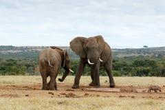 stojak - z afrykanina Bush słoni Obrazy Royalty Free