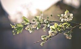 Stok van de kersenboom in mijn buitenhuistuin Stock Fotografie