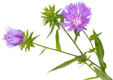 Stoke Aster Royalty Free Stock Photos
