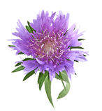 Stoke's Aster Stock Photography