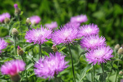 Stokesia laevis Royalty Free Stock Images