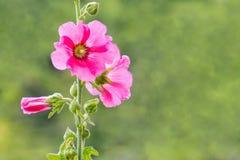 Stokroosbloem op groene achtergrond in de tuin Stock Foto's