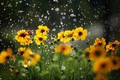 stokrotek krople kwitną deszcz Zdjęcia Royalty Free