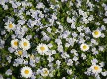 stokrotek mały wiosna biel Obrazy Royalty Free