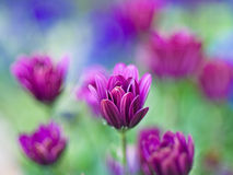 stokrotek purpury Fotografia Royalty Free
