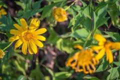 Stokrotka żółty kwiat Zdjęcia Royalty Free