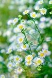 Stokrotka białego kwiatu żółty pollen w kępa ogródzie Zdjęcie Stock