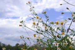 Stokrotka białego kwiatu kwiat w naturze przeciw niebieskiego nieba tłu obraz royalty free