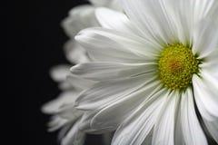 stokrotka biel Zdjęcie Royalty Free