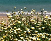 Stokrotka Jak kwiatu dorośnięcie Obok plaży W Lagos Portugalia zdjęcie stock
