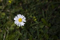 Stokrotka jest małym łąkowym kwiatem zdjęcie royalty free