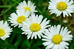 Stokrotka kwiatów zamknięty up Obraz Royalty Free
